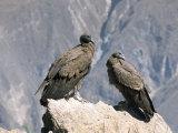 Two Condors at Cruz Del Condor  Colca Canyon  Peru  South America