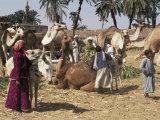 Camel Market  Darwa  Egypt  North Africa  Africa