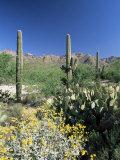 Tall Saguaro Cacti (Cereus Giganteus) in Desert Landscape  Sabino Canyon  Tucson  USA