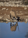 Oryx at Waterhole  Namibia  Africa