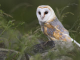 Barn Owl on Dry Stone Wall  Tyto Alba  United Kingdom