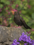 Female Blackbird (Turdus Merula)  on Garden Wall in Early Summer  United Kingdom