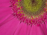Gerbera  Shocking Pink  United Kingdom