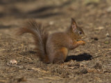 Red Squirrel  Sciurus Vulgaris  Formby  Liverpool  England  United Kingdom