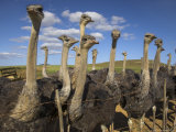 Ostriches  Struthio Camelus  on Ostrich Farm  Western Cape  South Africa  Africa