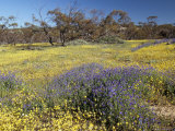 Carpet of Spring Flowers  Mullewa  Western Australia  Australia