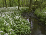Wild Garlic  or Ramson  Allium Ursinum  Lancashire  England  United Kingdom