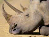 White Rhino (Ceratotherium Simum)  Hluhluwe Game Reserve  Kwazulu Natal  South Africa  Africa