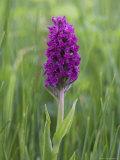 Northern Marsh Orchid (Dactylorhiza Purpurella)  Craignure  Mull  Inner Hebrides  Scotland