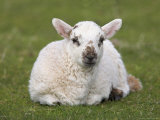 Spring Lamb  Scotland  United Kingdom