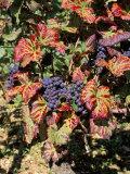 Vineyards Near Nuits St Georges  Burgundy  France