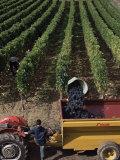 Harvesting Grapes  St Emilion Area  Aquitaine  France