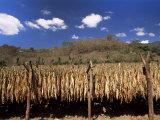 Tobacco Leaves Drying  Near Jocatan  Guatemala  Central America