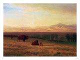 Buffalo on the Plains  Circa 1890