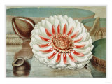 Victoria Regia or the Great Water Lily of America (Complete Bloom)  1854