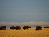 Bison Graze on the Shortgrasses of a Wyoming Prairie