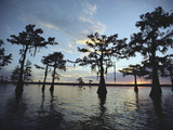Cypress Trees in Grand Lake are Silhouetted Against a Sunset Sky