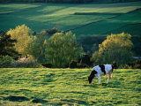 Cow in Field in Sinarpsdalen Valley  Above Bastad  Skane  Sweden