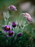 Backsippa Is a Spectacular Wildflower Found in Skane Throughout Spring  Skane  Sweden