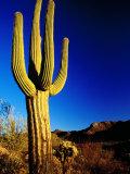 Saguaro at Sunset  Valley View Overlook Trail  Saguaro National Park  Arizona