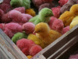 Coloured Chicks for Sale at a Market in the City Centre  Padang  West Sumatra  Indonesia