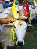 Bull Decorated for Pongal Festival  Mahabalipuram  Tamil Nadu  India