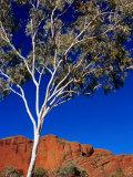 Gum Tree at Bungle Bungles  Purnululu National Park  Western Australia