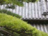 Tile Roof Top and Pines Inside the Otemon Gate to the Imperial Palace  Tokyo  Kanto  Japan