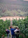 Harvest at Vineyard in Carneros Area  Napa Valley  California