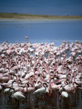 Large Group of Lesser Flamingos on Soda Lake  Ngorongoro Crater  Arusha  Tanzania