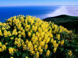 Tree Lupine at Point Reyes National Seashore  Marin County  California