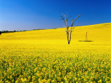 Dead Tree in Field of Flowering Canola  Cootamundra  New South Wales  Australia