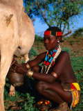 Woman Milking Cow  Hamer Village  Turmi  Southern Nations  Nationalities and Peoples  Ethiopia