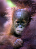 Baby Oragutan Nestled in Arms of Mother  Gunung Leuser National Park  Indonesia