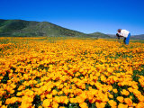 Photographer in Field of California Poppies  East County  San Diego  California