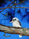 Kookaburra  Queensland  Australia
