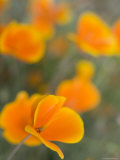 Golden Poppies on Figueroa Mountain  Los Padres National Forest  California