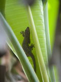 Gecko on Leaf  Cousin Island Special Reserve Near Praslin Island  Cousin Island