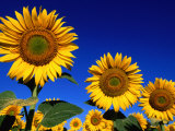 Detail of Sunflowers  Tuscany  Italy