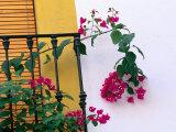 Bougainvillea Flower on Balcony  Cordoba  Andalucia  Spain