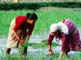 Two Newari Women Planting Rice in Paddy  Kathmandu  Bagmati  Nepal