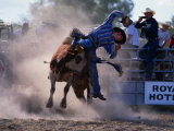 Rodeo Rider Falling Off Bull  New South Wales  Australia