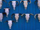 Animal Skulls on Wall  New Mexico