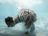 Odin the Tiger  Vallejo  California
