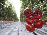 Tomato Greenhouse  Madison  Maine
