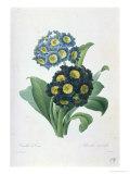Primula Auricula