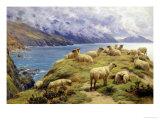 Sheep Reposing  Dalby Bay  Isle of Man
