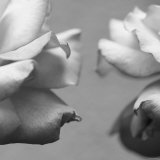 Rose Petals I