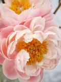 Delicate Blossom III