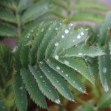Dew Drops I